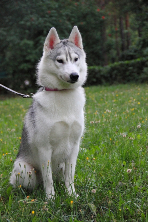 grey white husky