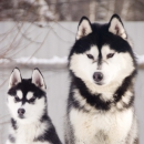 Husky Haven Only You And Me